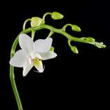 White phalaenopsis Royalty Free Stock Images