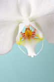 White Phalaenopsis Moth Orchid Stock Photography