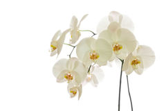 White Phalaenopsis Orchid Royalty Free Stock Photos