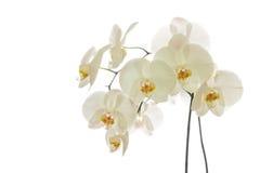 White Phalaenopsis Orchid Royalty Free Stock Photos