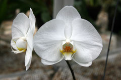 White phalaenopsis orchid Stock Photo