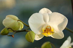 Free White Phalaenopsis Orchid Stock Photography - 71151952