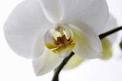 White phalaenopsis orchid Stock Photo