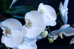 White phalaenopsis orchid on a black background. Photographed close-up Royalty Free Stock Photography