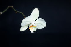 White phalaenopsis orchid Stock Photography