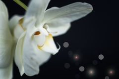 White phalaenopsis orchid Royalty Free Stock Photography