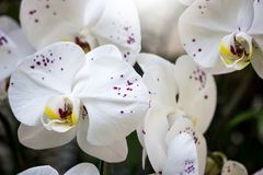 White phalaenopsis orchid flower Royalty Free Stock Images