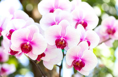 White phalaenopsis orchid flower Royalty Free Stock Photography