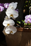White Phalaenopsis Orchid. S, known as the Moth Orchid, blooming in ceramic container, pink orchids blurred in background. Phalaenopsis is one of the most Stock Photos
