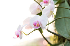 White Phalaenopsis orchid. White and pink Phalaenopsis orchid Stock Image