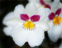 White Phalaenopsis Orchid with purple and yellow stamen Stock Photo
