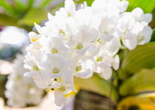 White Phalaenopsis orchid from Thailand orchids Royalty Free Stock Photography