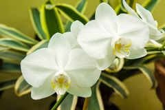 White Phalaenopsis orchid Stock Photos