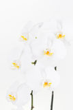 White Phalaenopsis orchids close up Royalty Free Stock Image