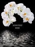 White Phalaenopsis and water reflection Royalty Free Stock Photos