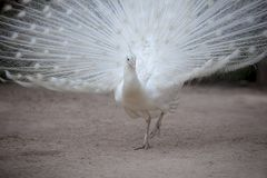 White pheasant with beautiful fan tail standing on dirt field. White pheasant with  beautiful fan tail standing on dirt field Royalty Free Stock Images