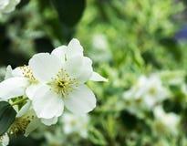 White philadelphus. The white philadelphus in the garden Stock Image