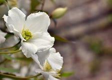 White Philadelphus `Belle étoile` mock orange flowers. A closeup of white Philadelphus `Belle étoile` mock orange flowers on a blurred background Royalty Free Stock Photo