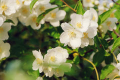 White Philadelphus coronarius flowers close up with water drops in summer Royalty Free Stock Image