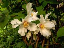 White Philadelphus Flowers in the Garden. White Philadelphus Flowers in the Summer Garden Stock Photo