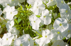 White phlox Royalty Free Stock Photos