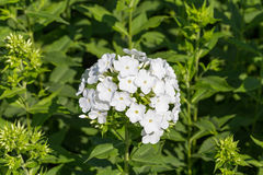 White phlox on a bed in a sunny summer day Stock Photo