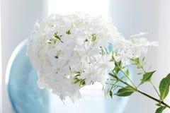 White Phlox flower (Phlox) Stock Image