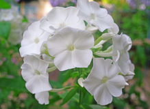 White phlox flowers in the garden Stock Photography