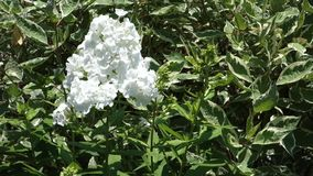 White Phlox stock video