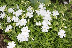 White phlox subulate bloom in the garden Stock Photography