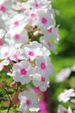 White phlox. Summer flower. Royalty Free Stock Images
