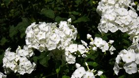 White phlox stock footage