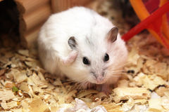 White phodopus hamster Royalty Free Stock Images