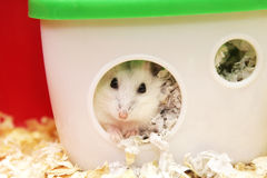 White phodopus hamster Stock Image