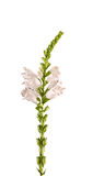 White Physostegia virginiana, Crown of Snow, bushes of wild white flowers Stock Photos