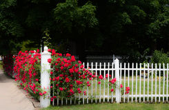 White Picket Fence and Red Rose Vine Stock Image