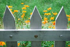 White Picket Fence Wildflowers. Yellow wildflowers seen behind a white wooden picket fence Stock Photos