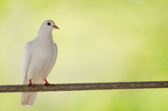 White pidgeon Royalty Free Stock Image