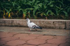 White pidgeon with red eyes walking with plants in the background stock image