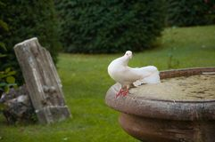 White pidgeon. A white pidgeon on a fountain in a garden royalty free stock images