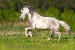 White piebald horse Stock Photography
