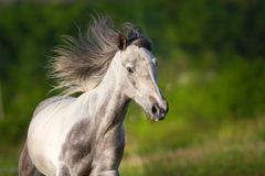 White piebald horse Royalty Free Stock Photos
