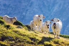 White Piedmontese Breed Cows In The Mountains Royalty Free Stock Photos