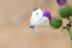 White pieris Stock Photography