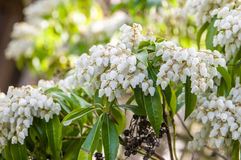 White Pieris japonica bush in bloom Stock Photography