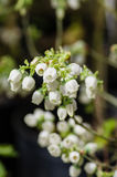 White Pieris japonica flowers in spring Stock Images
