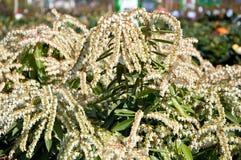 White pieris japonica Stock Image