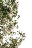 White pieris japonica in spring Royalty Free Stock Images