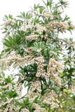 White pieris japonica in spring Royalty Free Stock Image