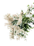 White pieris japonica in spring Royalty Free Stock Photos